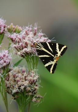 Potenzielle Garten-Schmetterlinge 11.03.2017