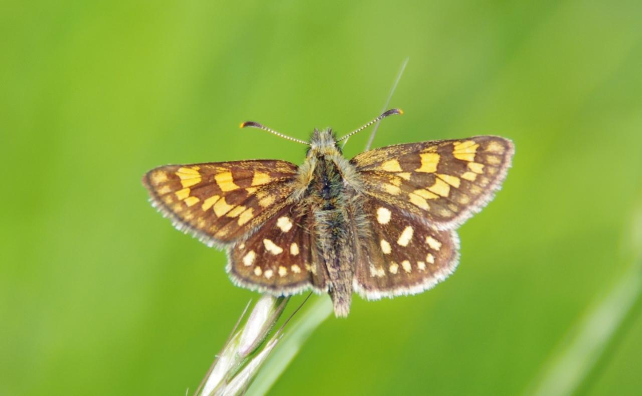 Potenzielle Garten-Schmetterlinge 11.03.2017 - Carterocephalus palaemon