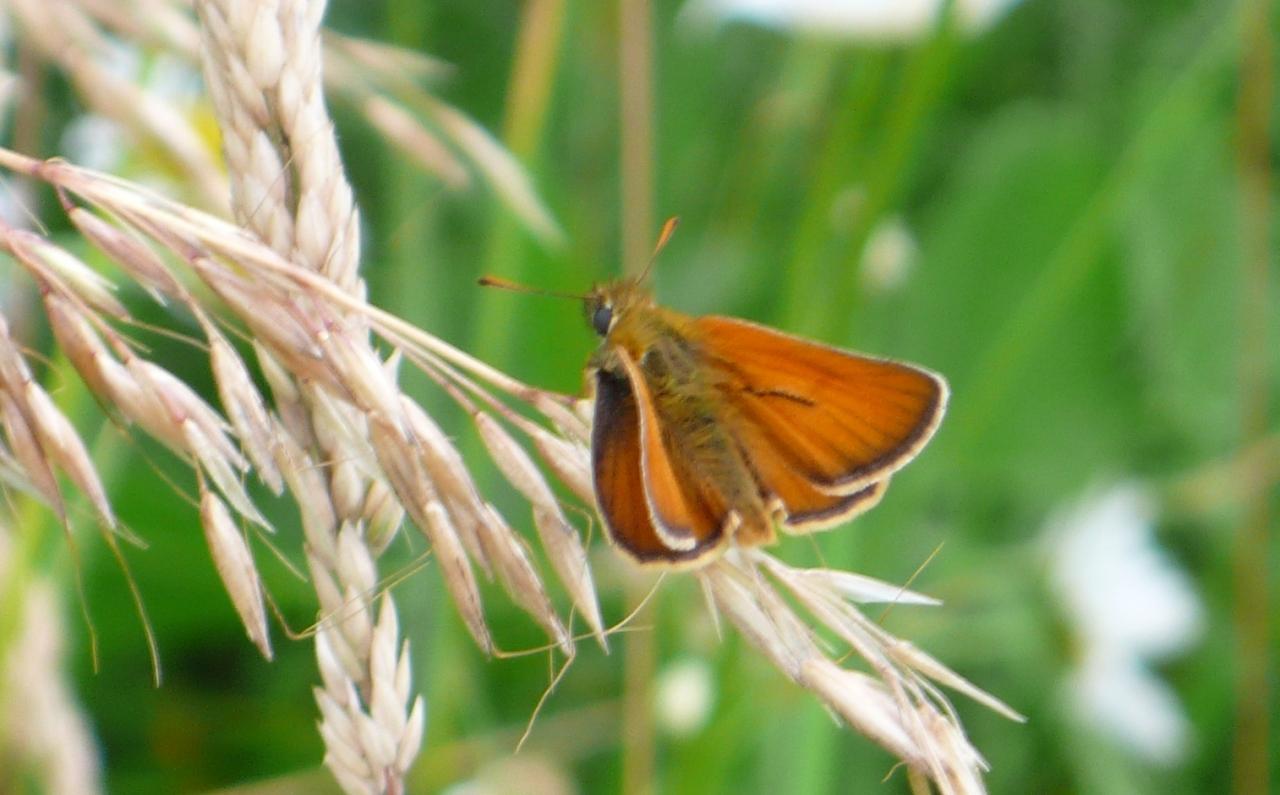 Potenzielle Garten-Schmetterlinge 11.03.2017 - Thymelicus sylvestris