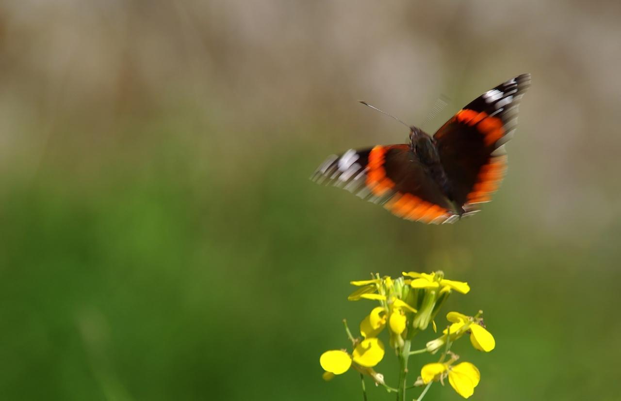 Potenzielle Garten-Schmetterlinge 12.03.2017 - Vanessa atalanta