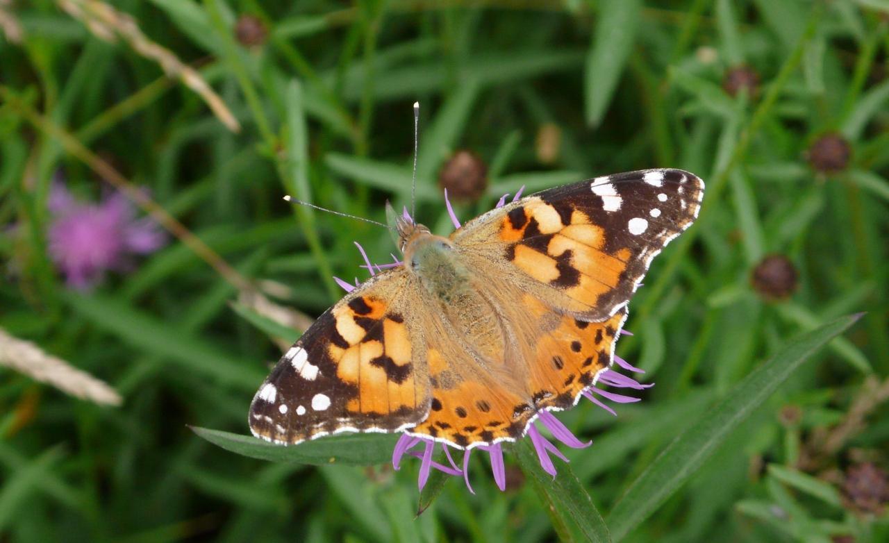 Potenzielle Garten-Schmetterlinge 12.03.2017 - Vanessa cardui