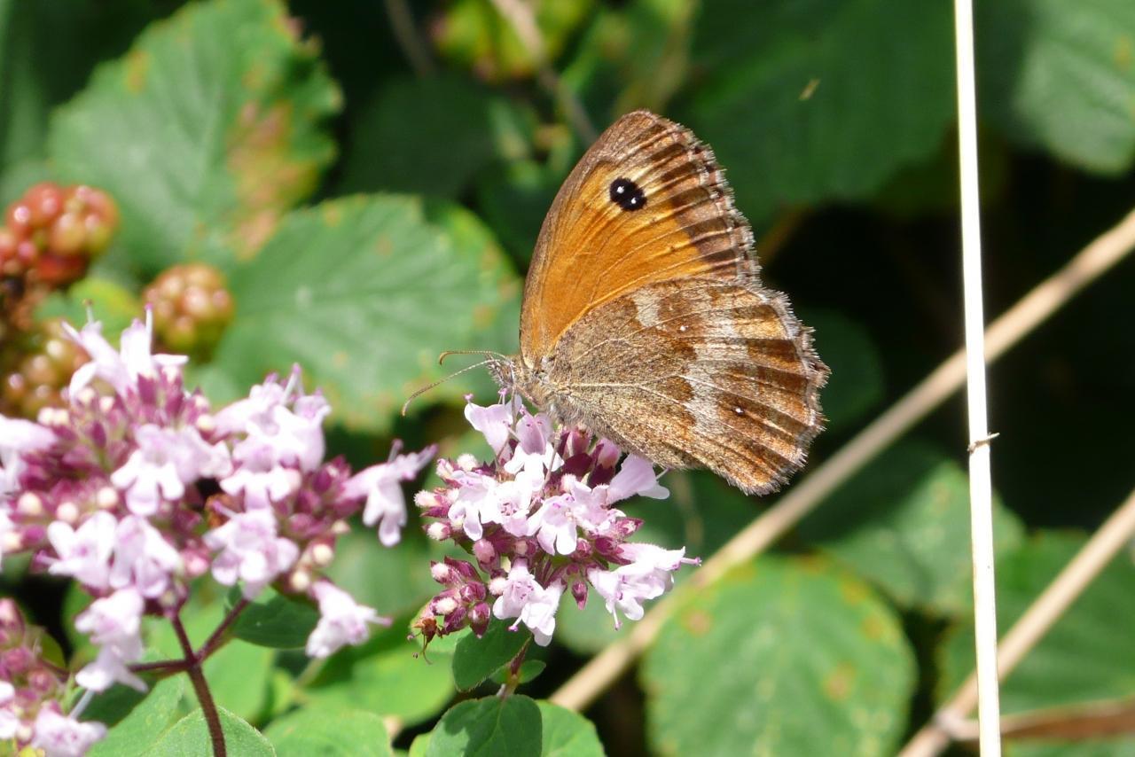 Potenzielle Garten-Schmetterlinge 12.03.2017 - Pyronia tithonus