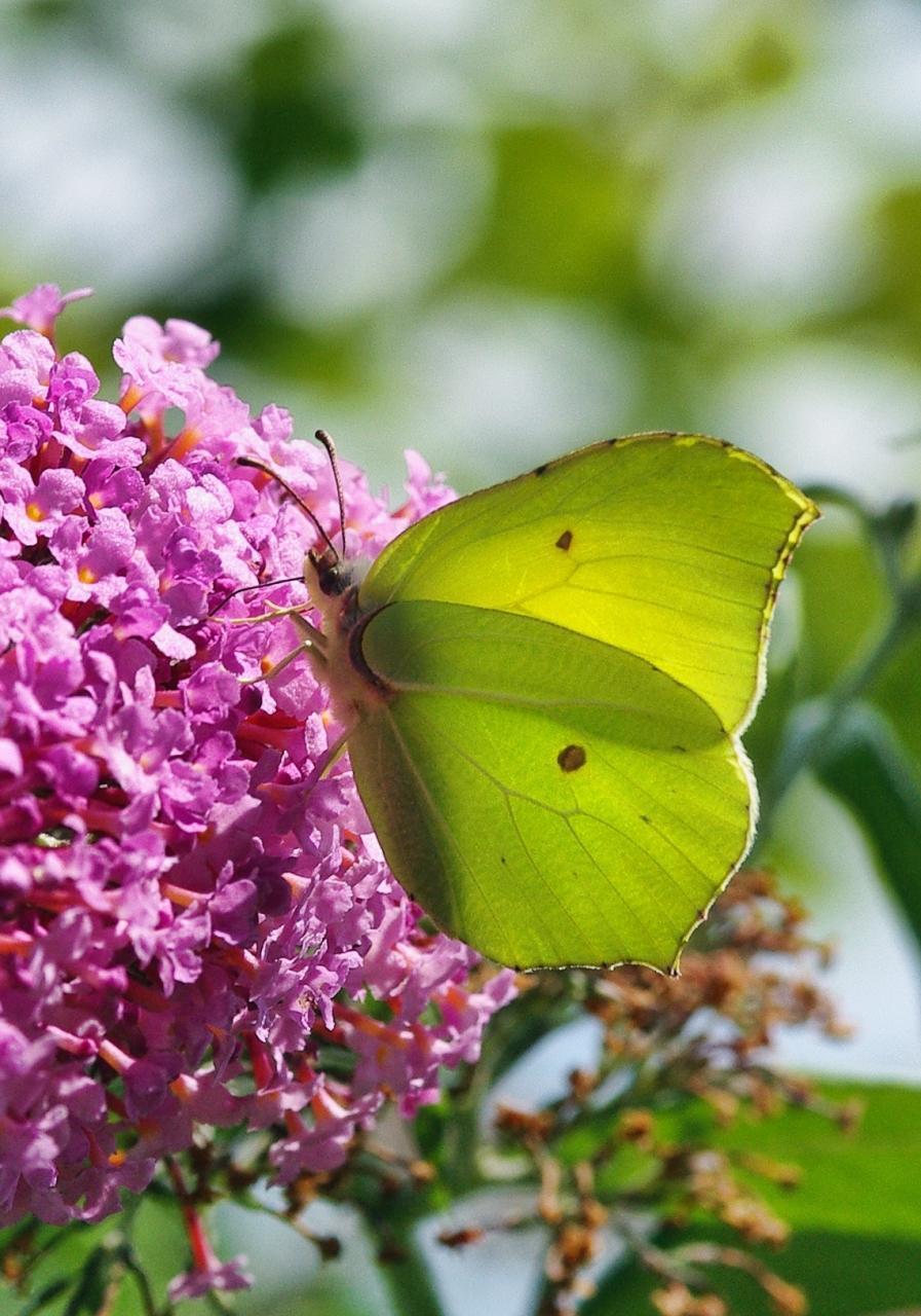 Potenzielle Garten-Schmetterlinge 13.03.2017 - Gonepteryx rhamni