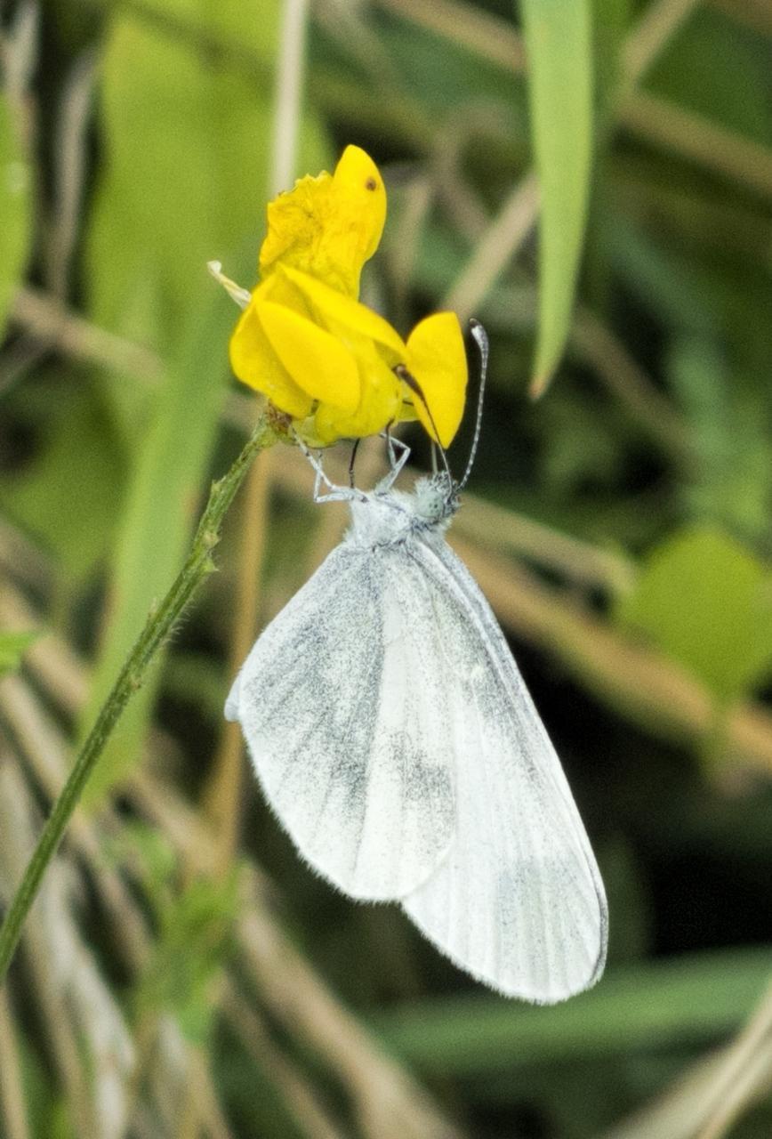 Potenzielle Garten-Schmetterlinge 13.03.2017 - Leptidea sinapis