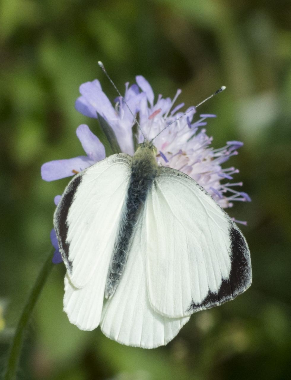 Potenzielle Garten-Schmetterlinge 13.03.2017 - Pieris brassicae