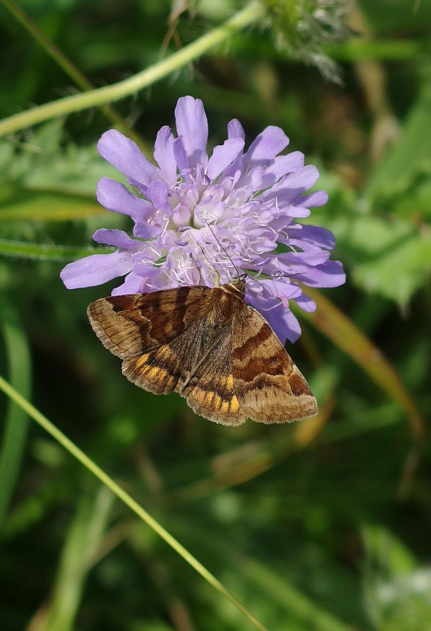 Potenzielle Garten-Schmetterlinge 13.03.2017 - Gonospileia glyphica