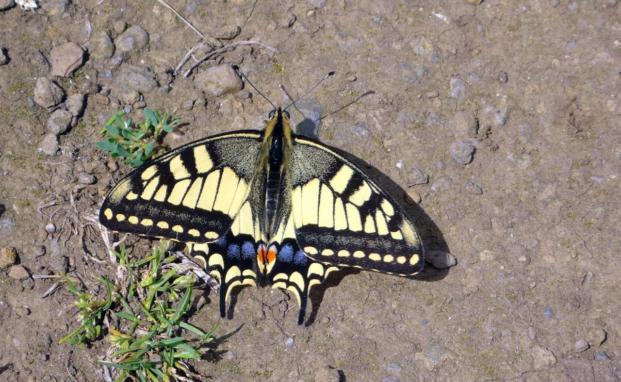 Potenzielle Garten-Schmetterlinge 13.03.2017 - Papilio machaon