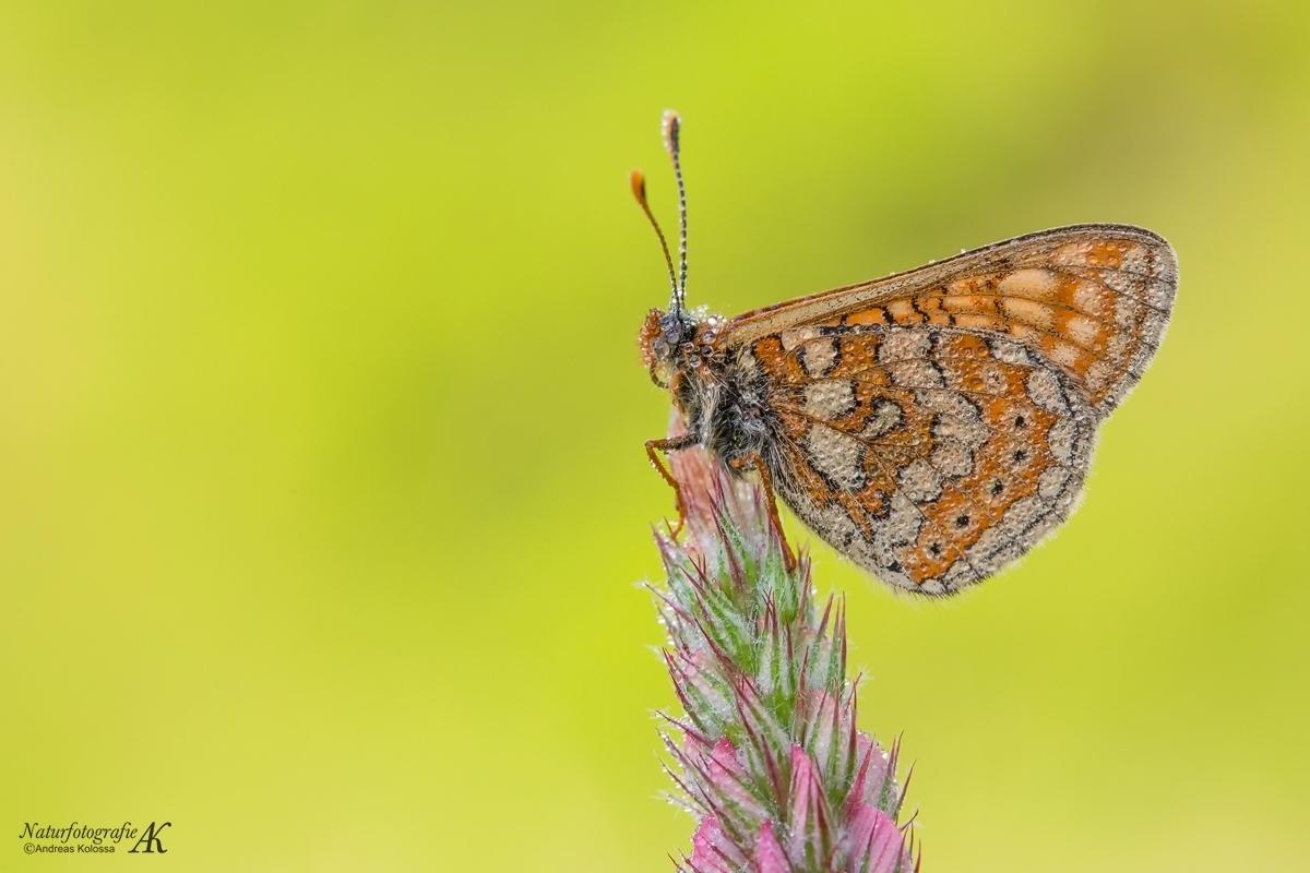 Schmetterlinge-Tagfalter 11.04.2017 - Goldener Scheckenfalter-aurinia