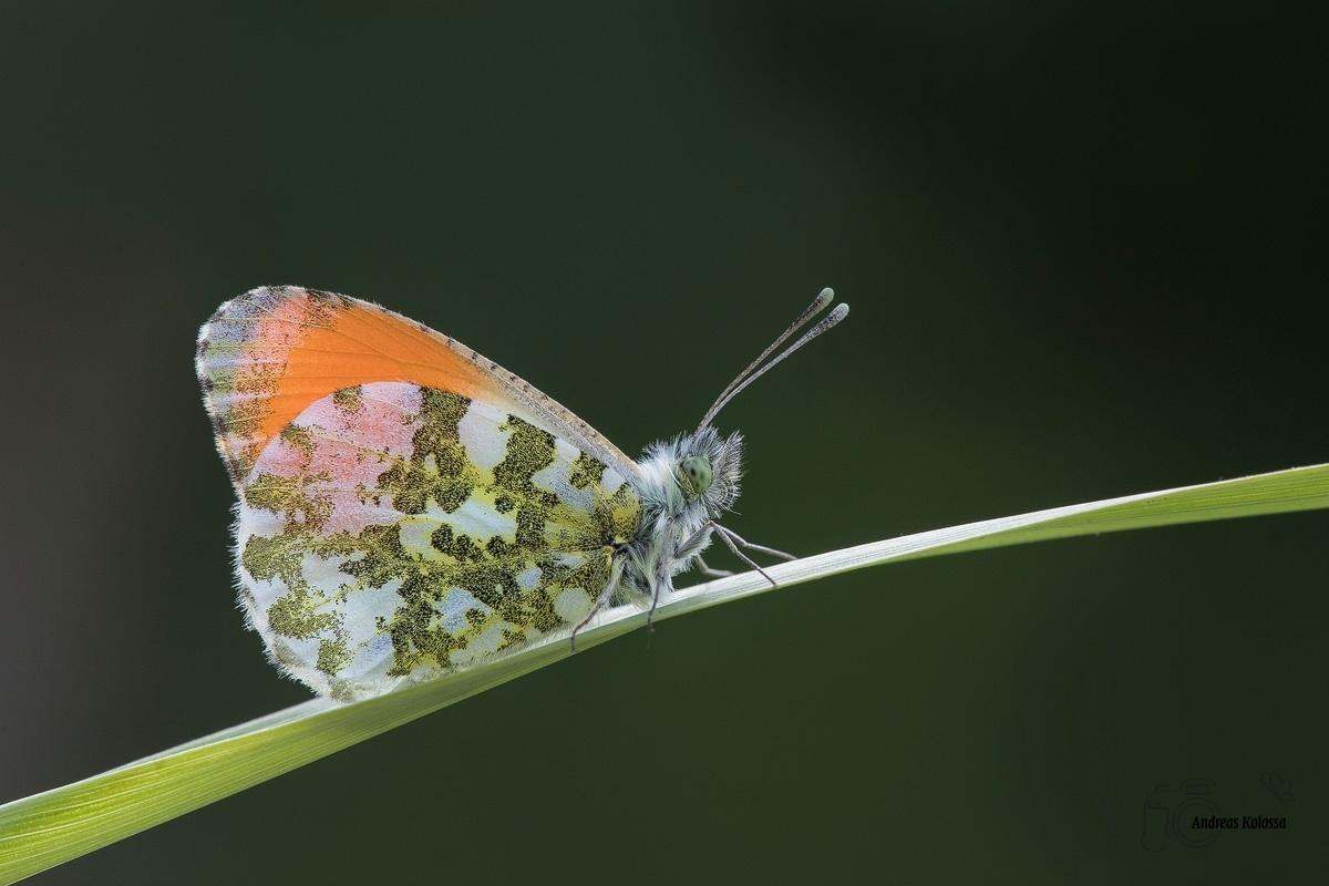Schmetterlinge-Tagfalter 23.04.2017