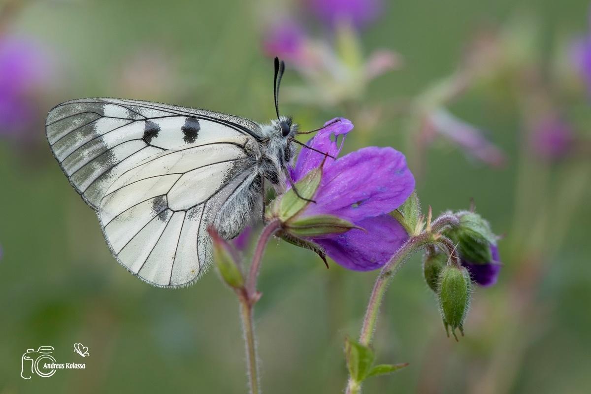 Schmetterlinge-Tagfalter 17.06.2017